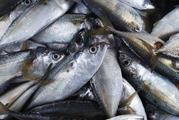 leone fish Southern Jack Mackerel