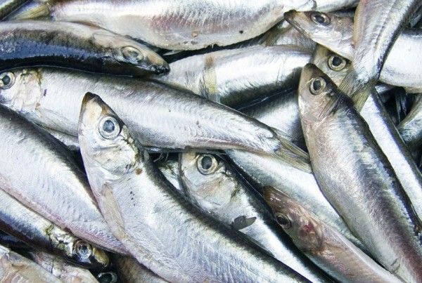 fish jurel pelágicos