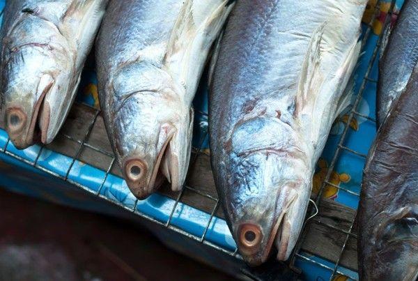 fish pacific anchoveta pelágicos